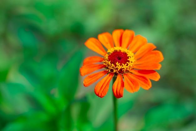 Orange zinnie oder hauptblume auf grünem hintergrund mit kopienraum. anbau und züchtung von gartenpflanzen, landschaftsgestaltung des geländes.