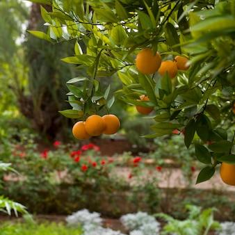Orangen, die vom orangenbaum, marrakesch, marokko hängen