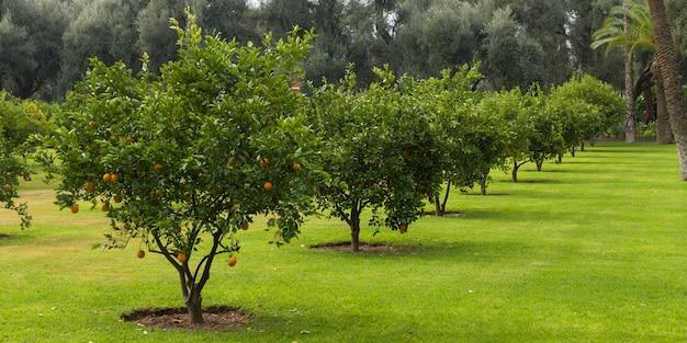 Orangenbäume in einem obstgarten, marrakesch, marokko