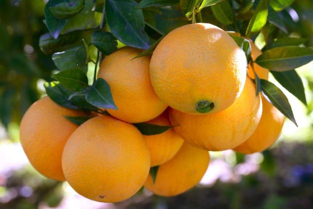 Orangenbäume mit den orangen, die am sonnigen mittelmeertag wachsen