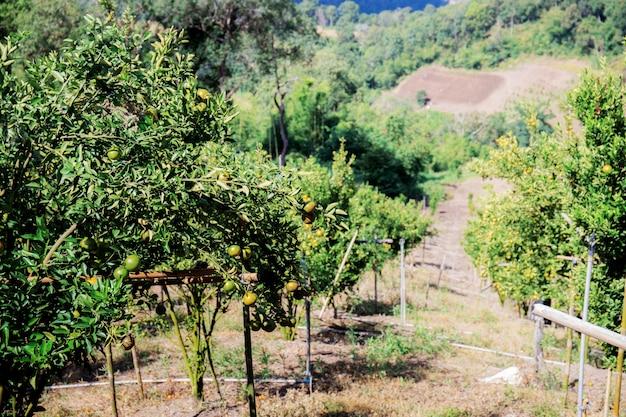 Orangenbaum auf plantage.