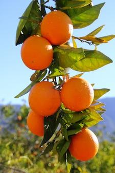 Orangenbaum der niederlassung trägt grüne blätter in spanien früchte