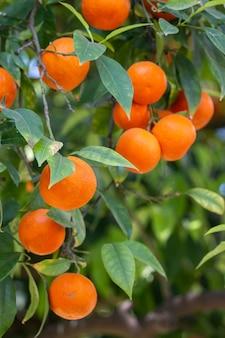 Orangenbaum früchte