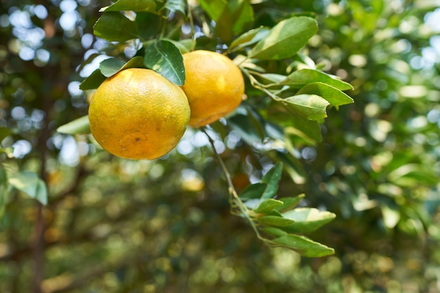 Orangenbaum im orange bauernhof.