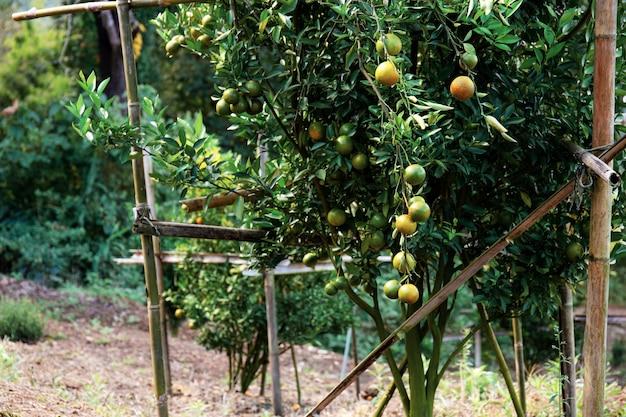 Orangenbaum in der farm.
