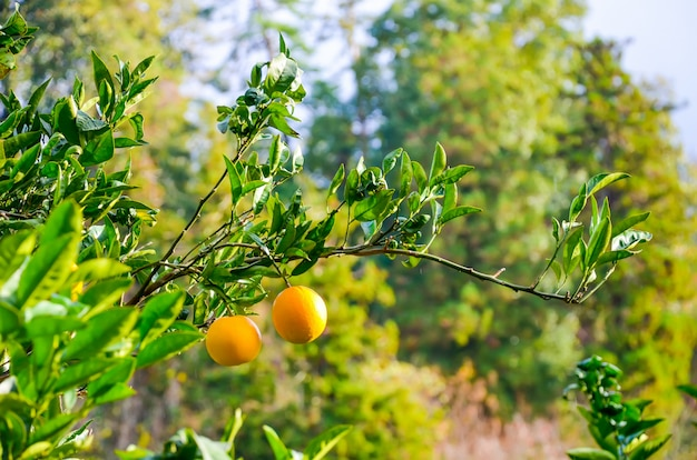 Orangenbaum in einem botanischen garten. batumi, georgia.