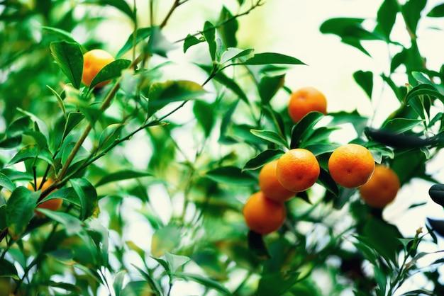 Orangenbaum mit ganzen früchten. frische orangen am zweig mit grünen blättern