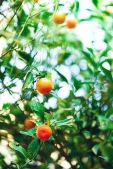 Orangenbaum mit ganzen früchten. frische orangen auf niederlassung mit grünen blättern, sonnenlichteffekt.