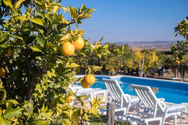 Orangenbaum mit orangen vor dem schwimmbad