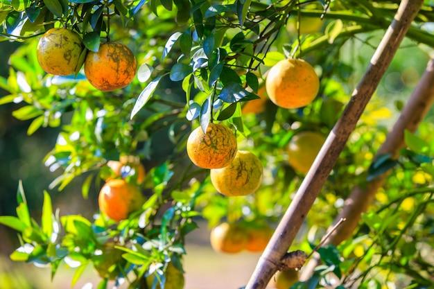 Orangenbaum mit reifen orangen im garten