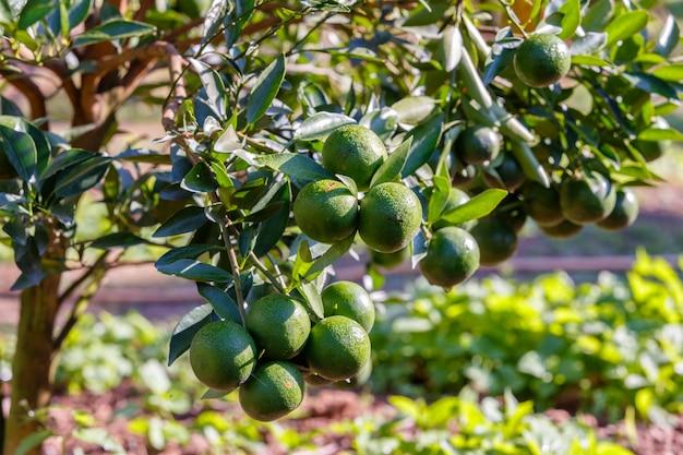 Orangenbaum - orangenbauernhof im fangbezirk bei chiang mai, thailand