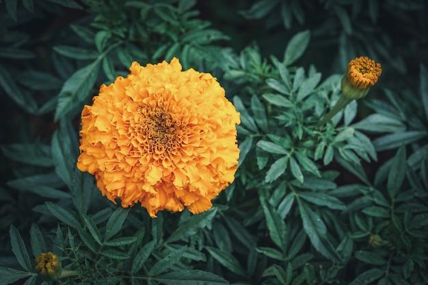 Orangenblüte und knospe der afrikanischen ringelblume