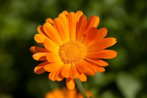 Orangenblüten der ringelblume