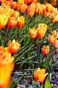 Orangenblüten-tulpen