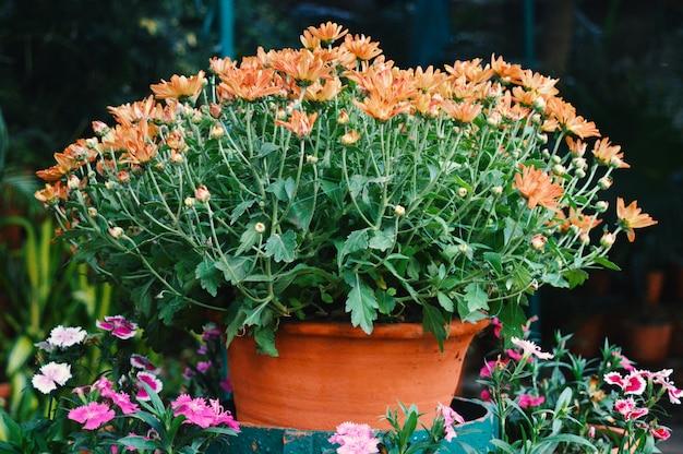 Orangenblumen der ringelblume in einem topf