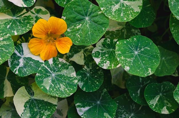 Orangenfarbene kapuzinerkresse-blüten (garten-kapuzinerkresse, indische kresse oder mönchskresse) mit ihrem baum und ihren blättern.