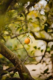 Orangenfrucht auf ast