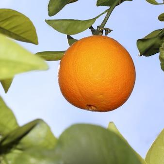 Orangenfrucht auf einem orangenbaum mit himmel