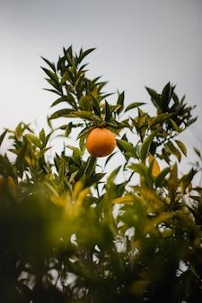Orangenfrucht auf grüner pflanze