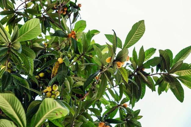 Orangenfrüchte auf einem südlichen baum. platz für text.