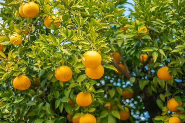 Orangenfrüchte mit blauem himmel