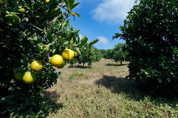 Orangenplantage