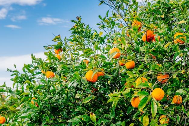 Orangenplantagen