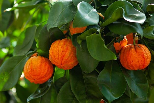 Orangenwellbaum mit früchten, citrus aurantium corrugato