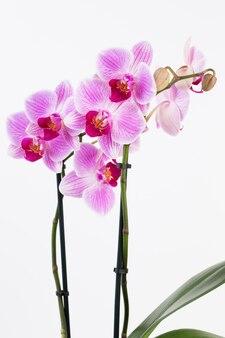 Orchidee auf einem weißen hintergrund