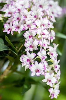 Orchidee blüht eine schöne farbe