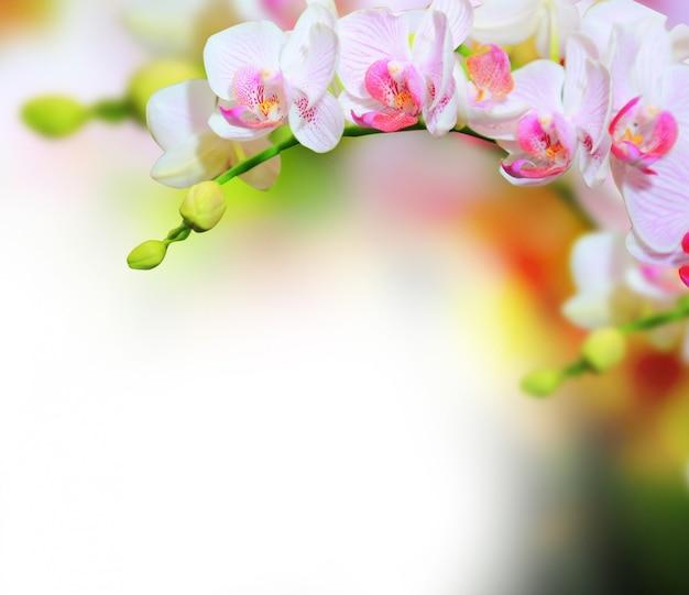 Orchidee blüht hintergrund