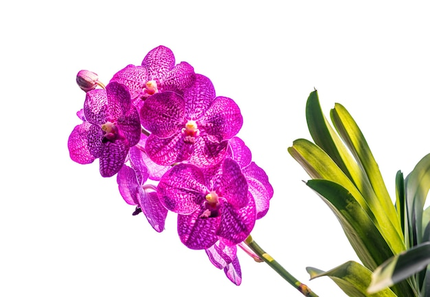 Orchidee, vanda sanderiana, betrachtet, als die königin der philippine, orchideenblumen lokalisiert auf weißem hintergrund, makro, beschneidungspfade
