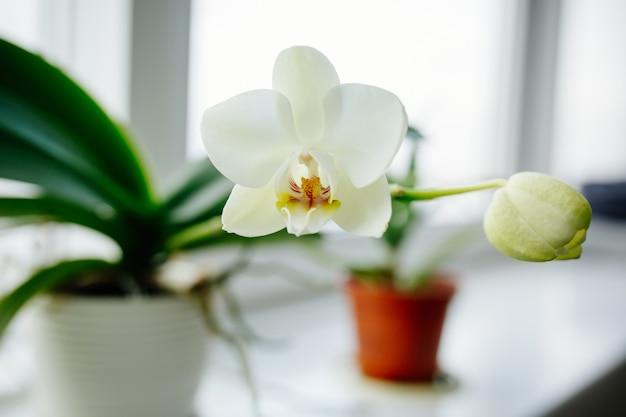 Orchideen, die auf fenster des gemütlichen hauses blühen