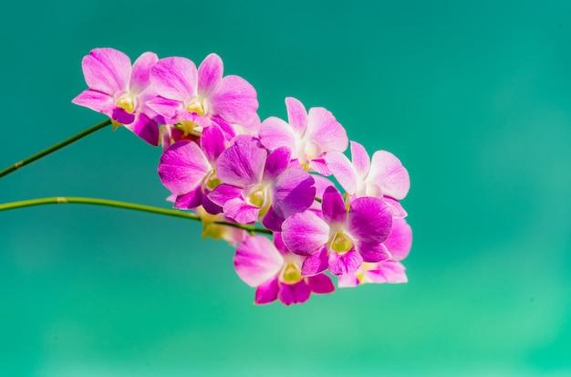 Orchideen. lila orchideen gelten in thailand als die königin der blumen.