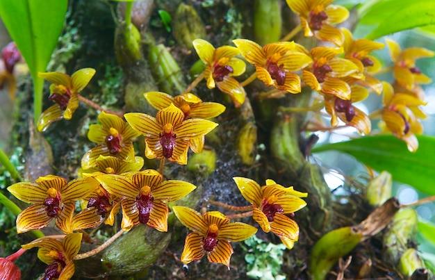 Orchideenblüte im tropischen regenwald in voller blüte