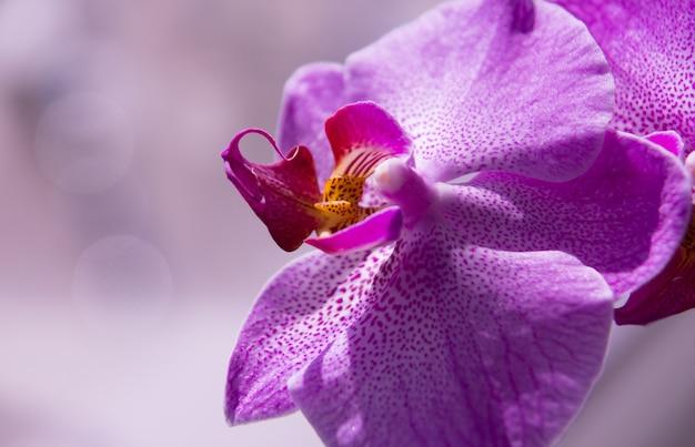 Orchideenblüten-nahaufnahme, lila knospe wie auf der seite liegend, schöner bokeh-effekt.