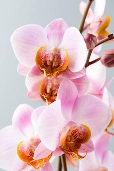 Orchideenblume auf dem grauen hintergrund.