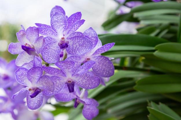 Orchideenblume im garten am winter- oder frühlingstag für postkartenschönheit. vanda-orchidee