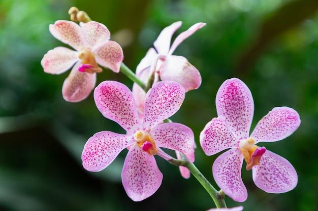 Orchideenblume im orchideengarten am winter- oder frühlingstag. mokara-orchidee