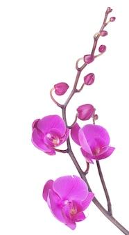 Orchideenblumen auf einem weißen hintergrund