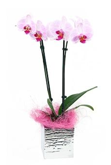 Orchideenblumen auf weißem hintergrund