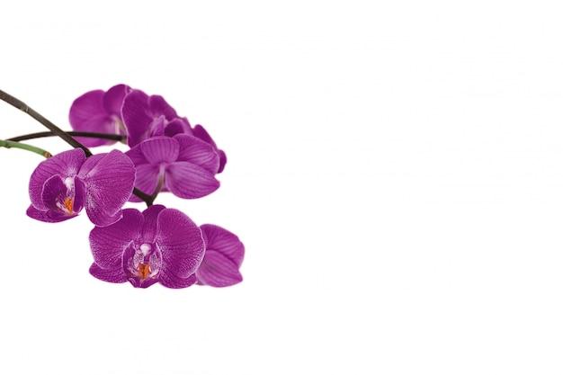 Orchideenblumen lokalisiert auf weißem hintergrund