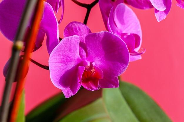 Orchideenblumenzweig auf hellem rosa