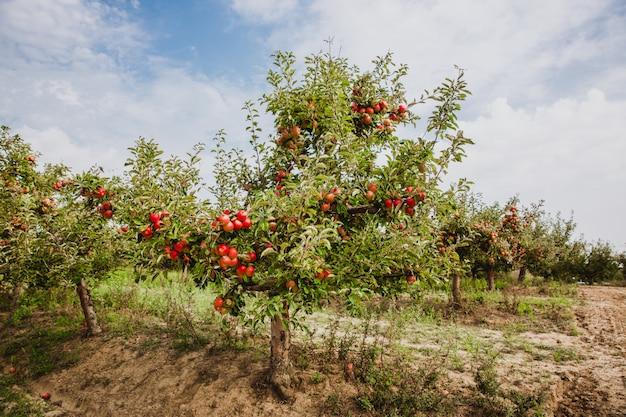 Organische äpfel, die von einem baumast in einem apfelgarten hängen