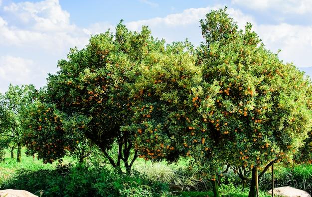 Organische frucht der japanischen orange auf dem baum