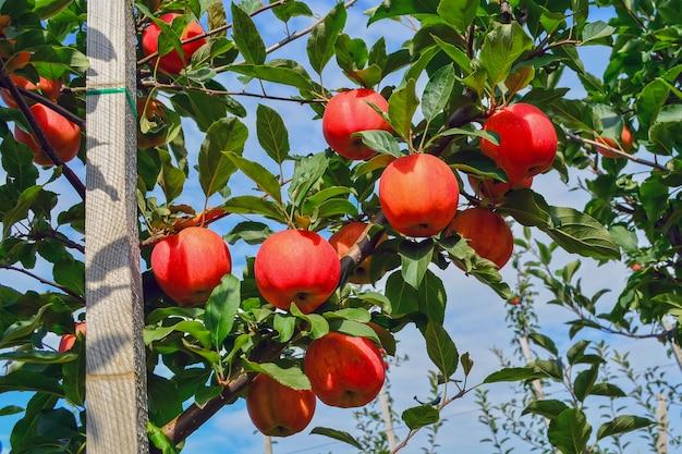 Organische, reife, saftige äpfel auf den ästen der bäume im garten