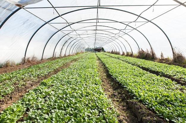 Organische rettichpflanzung in gewächshäusern