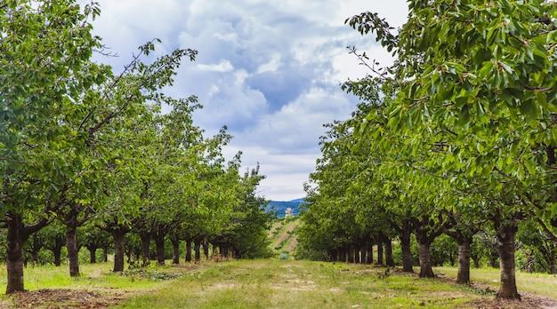 Organische rote und süße reifende kirschen auf kirschbäumen