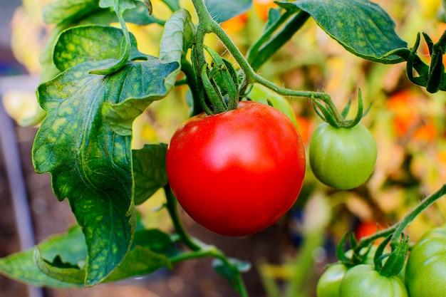 Organische tomate, die im gemüsegarten wächst