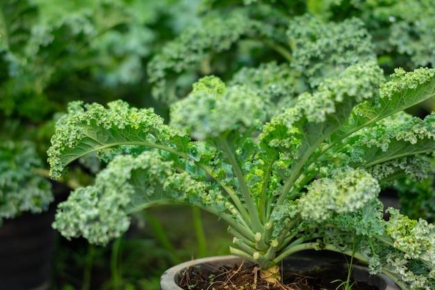 Organischer brokkoli im gemüsegarten